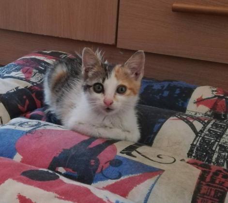 Maxcotea | Foto de Iris - Gato, Raza: Gato común europeo | Maxcotea, Adopción de mascotas. Adopción de perros. Adopción de gatos.