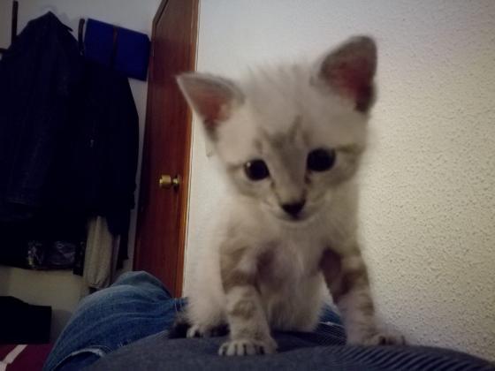 Maxcotea | Foto de Yeti - Gato, Raza: Gato común europeo | Maxcotea, Adopción de mascotas. Adopción de perros. Adopción de gatos.