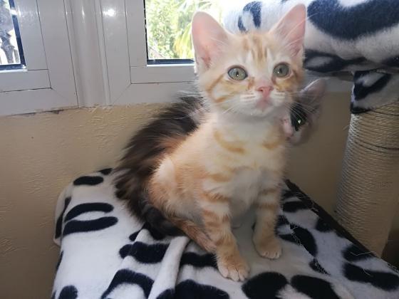 Maxcotea | Foto de Ambar - Gato, Raza: Gato común europeo | Maxcotea, Adopción de mascotas. Adopción de perros. Adopción de gatos.