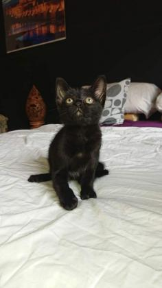 Maxcotea | Foto de COSMO - Gato, Raza: Gato común europeo | Maxcotea, Adopción de mascotas. Adopción de perros. Adopción de gatos.