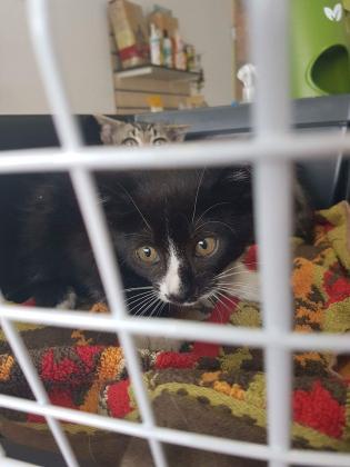 Maxcotea | Foto de Zape - Gato, Raza: Gato común europeo | 🌸Zape🌸 | Maxcotea, Adopción de mascotas. Adopción de perros. Adopción de gatos.