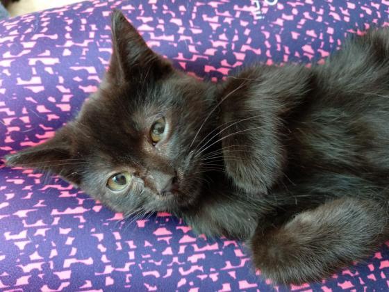 Maxcotea | Foto de Damian - Gato, Raza: Gato común europeo | Maxcotea, Adopción de mascotas. Adopción de perros. Adopción de gatos.