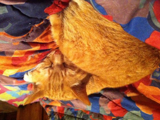 Maxcotea | Foto de Nene - Gato, Raza: Gato común europeo | Maxcotea, Adopción de mascotas. Adopción de perros. Adopción de gatos.