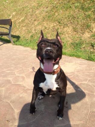 Maxcotea | Foto de Moro - Perro, Raza: American Staffordshire | Maxcotea, Adopción de mascotas. Adopción de perros. Adopción de gatos.