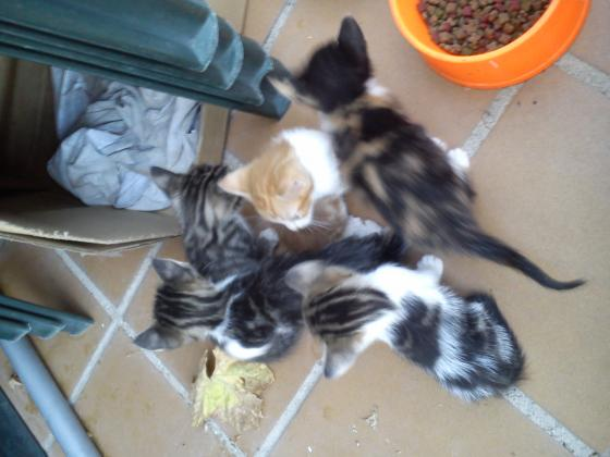 Maxcotea | Foto de Gatitos - Gato, Raza: Gato común europeo | Maxcotea, Adopción de mascotas. Adopción de perros. Adopción de gatos.