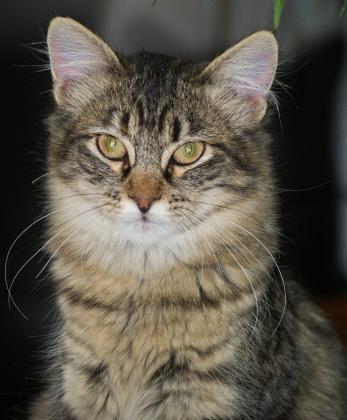 Maxcotea | Foto de Kika - Gato, Raza: Gato común europeo | Maxcotea, Adopción de mascotas. Adopción de perros. Adopción de gatos.
