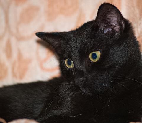 Maxcotea | Foto de Ludo - Gato, Raza: Gato común europeo | Maxcotea, Adopción de mascotas. Adopción de perros. Adopción de gatos.