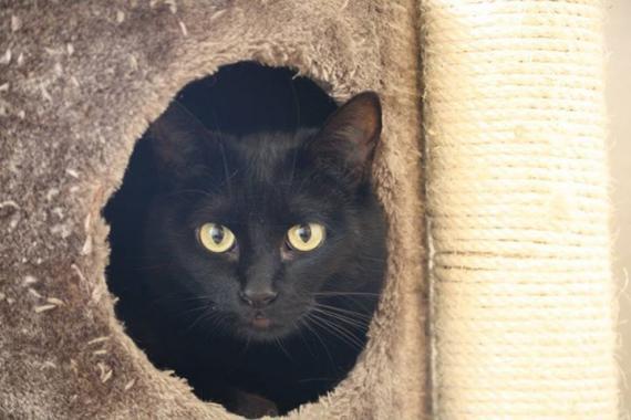 Maxcotea | Foto de Pelux - Gato, Raza: Gato común europeo | Maxcotea, Adopción de mascotas. Adopción de perros. Adopción de gatos.