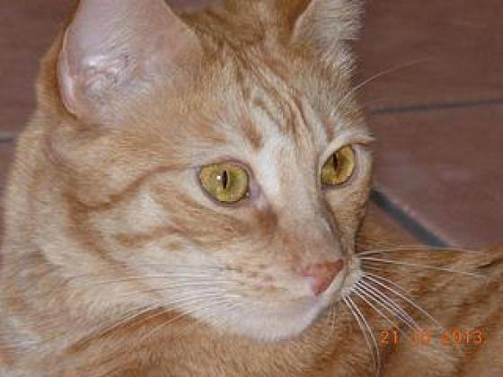 Maxcotea | Foto de Ruby - Gato, Raza: Gato común europeo | Maxcotea, Adopción de mascotas. Adopción de perros. Adopción de gatos.