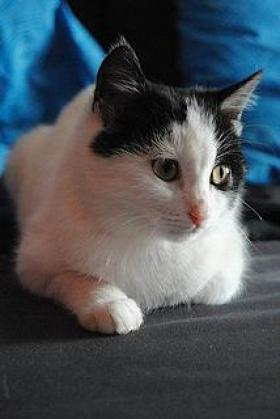 Maxcotea | Foto de Trico - Gato, Raza: Gato común europeo | Maxcotea, Adopción de mascotas. Adopción de perros. Adopción de gatos.