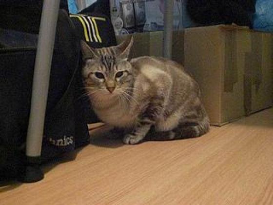 Maxcotea | Foto de Will - Gato, Raza: Gato común europeo | Maxcotea, Adopción de mascotas. Adopción de perros. Adopción de gatos.