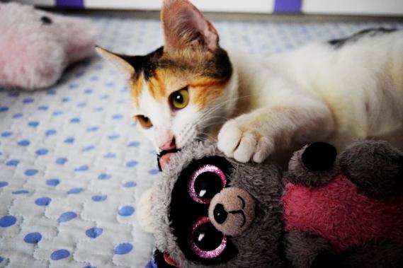 Maxcotea | Foto de Madonna - Gato, Raza: Gato común europeo | Maxcotea, Adopción de mascotas. Adopción de perros. Adopción de gatos.