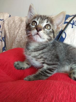 Maxcotea | Foto de Dannae - Gato, Raza: Gato común europeo | Maxcotea, Adopción de mascotas. Adopción de perros. Adopción de gatos.