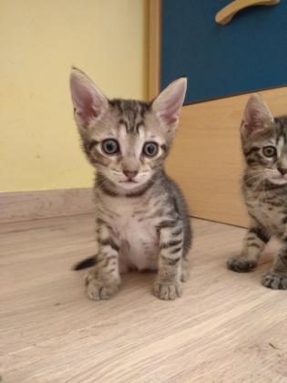 Maxcotea | Foto de Dobby - Gato, Raza: Gato común europeo | Maxcotea, Adopción de mascotas. Adopción de perros. Adopción de gatos.