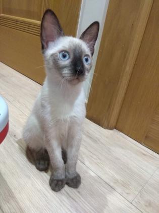 Maxcotea | Foto de Manu - Gato, Raza: Siames | Maxcotea, Adopción de mascotas. Adopción de perros. Adopción de gatos.