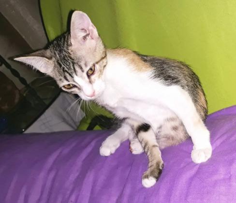 Maxcotea   Foto de Hope - Gato, Raza: Gato común europeo   Maxcotea, Adopción de mascotas. Adopción de perros. Adopción de gatos.