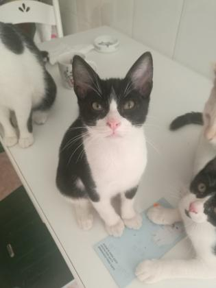 Maxcotea   Foto de Travolta - Gato, Raza: Gato común europeo   Maxcotea, Adopción de mascotas. Adopción de perros. Adopción de gatos.
