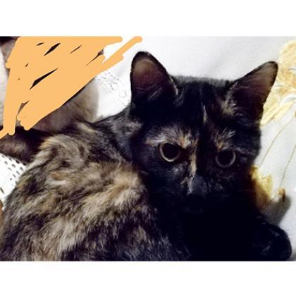 Maxcotea | Foto de Tiger - Gato, Raza: Abisinio | Maxcotea, Adopción de mascotas. Adopción de perros. Adopción de gatos.