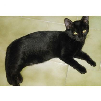 Maxcotea | Foto de Baghira - Gato, Raza: Abisinio | Maxcotea, Adopción de mascotas. Adopción de perros. Adopción de gatos.