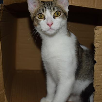 Maxcotea | Foto de Salem - Gato, Raza: Abisinio | Maxcotea, Adopción de mascotas. Adopción de perros. Adopción de gatos.