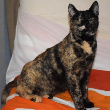 Maxcotea | Foto de Helen - Gato, Raza: Abisinio | Maxcotea, Adopción de mascotas. Adopción de perros. Adopción de gatos.
