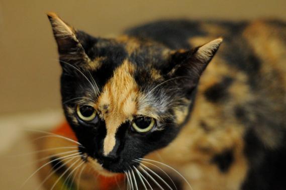 Maxcotea | Foto de TRIXI EN ADOPCION - Gato, Raza: Otro | Maxcotea, Adopción de mascotas. Adopción de perros. Adopción de gatos.