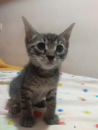 Maxcotea   Foto de Nimeria - Gato, Raza: Otro   Maxcotea, Adopción de mascotas. Adopción de perros. Adopción de gatos.