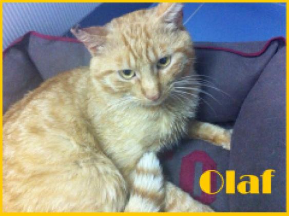 Maxcotea | Foto de Olaf - Gato, Raza: Gato común europeo | Maxcotea, Adopción de mascotas. Adopción de perros. Adopción de gatos.