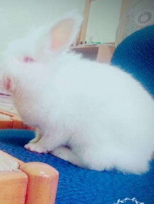 Maxcotea | Foto de Chiqui - Roedor, Raza: Conejo angora | Maxcotea, Adopción de mascotas. Adopción de perros. Adopción de gatos.