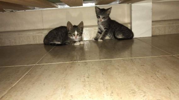 Maxcotea | Foto de Kia - Gato, Raza: Gato común europeo | 🌸Kia🌸 | Maxcotea, Adopción de mascotas. Adopción de perros. Adopción de gatos.