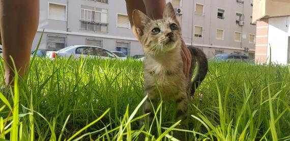 Maxcotea   Foto de Hippie - Gato, Raza: Gato común europeo   Maxcotea, Adopción de mascotas. Adopción de perros. Adopción de gatos.