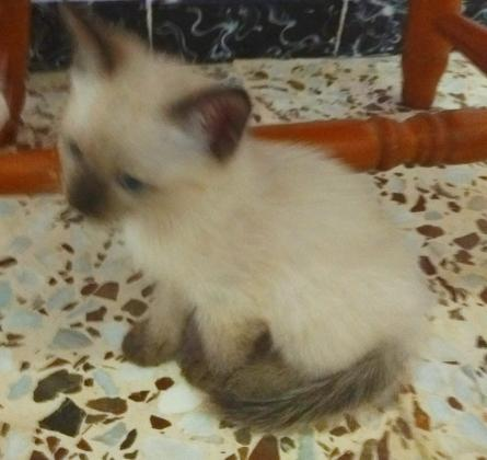 Maxcotea   Foto de Pétalo - Gato, Raza: Gato común europeo   Maxcotea, Adopción de mascotas. Adopción de perros. Adopción de gatos.