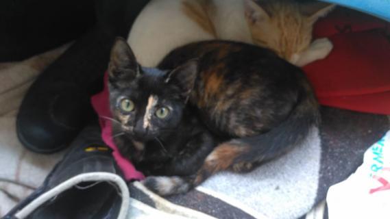 Maxcotea   Foto de Valeria - Gato, Raza: Gato común europeo   Maxcotea, Adopción de mascotas. Adopción de perros. Adopción de gatos.