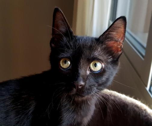 Maxcotea   Foto de Mishu - Gato, Raza: Gato común europeo   Maxcotea, Adopción de mascotas. Adopción de perros. Adopción de gatos.