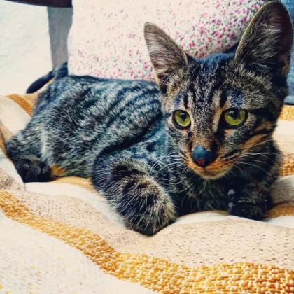 Maxcotea   Foto de Hércules - Gato, Raza: Gato común europeo   Maxcotea, Adopción de mascotas. Adopción de perros. Adopción de gatos.