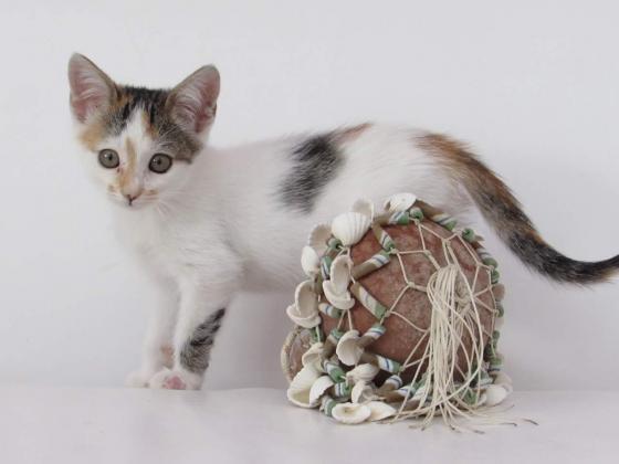 Maxcotea   Foto de Nora - Gato, Raza: Gato común europeo   Maxcotea, Adopción de mascotas. Adopción de perros. Adopción de gatos.