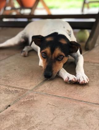 Maxcotea | Foto de Pepe - Perro, Raza: Bodeguero Andaluz | Maxcotea, Adopción de mascotas. Adopción de perros. Adopción de gatos.