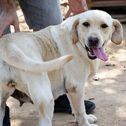 Maxcotea | Foto de Julieta - Perro, Raza: Labrador Retriever | Maxcotea, Adopción de mascotas. Adopción de perros. Adopción de gatos.
