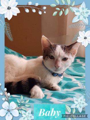 Maxcotea | Foto de Baby - Gato, Raza: Gato común europeo | 🌸Baby🌸 | Maxcotea, Adopción de mascotas. Adopción de perros. Adopción de gatos.