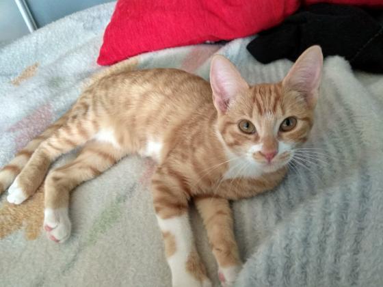 Maxcotea | Foto de Melody - Gato, Raza: Gato común europeo | Maxcotea, Adopción de mascotas. Adopción de perros. Adopción de gatos.