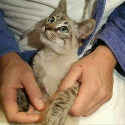 Maxcotea | Foto de Blues - Gato, Raza: Siames | Maxcotea, Adopción de mascotas. Adopción de perros. Adopción de gatos.