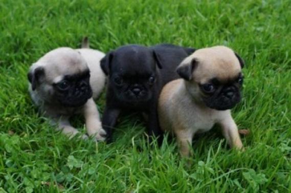 Maxcotea | Foto de carlino - Perro, Raza: Carlino | Maxcotea, Adopción de mascotas. Adopción de perros. Adopción de gatos.