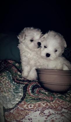 Maxcotea | Foto de  bichon maltes cachorros toy - Perro, Raza: Bichon maltes | Maxcotea, Adopción de mascotas. Adopción de perros. Adopción de gatos.