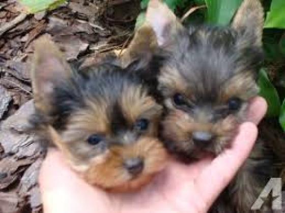 Maxcotea | Foto de yorkshire terrier mini  - Perro, Raza: Yorkshire terrier | Maxcotea, Adopción de mascotas. Adopción de perros. Adopción de gatos.