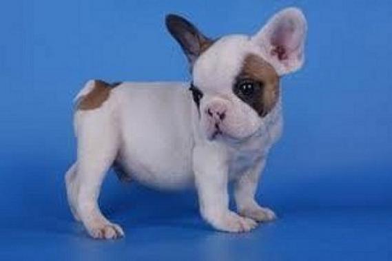 Maxcotea | Foto de cachorros de bulldog frances - Perro, Raza: Bulldog Frances | Maxcotea, Adopción de mascotas. Adopción de perros. Adopción de gatos.