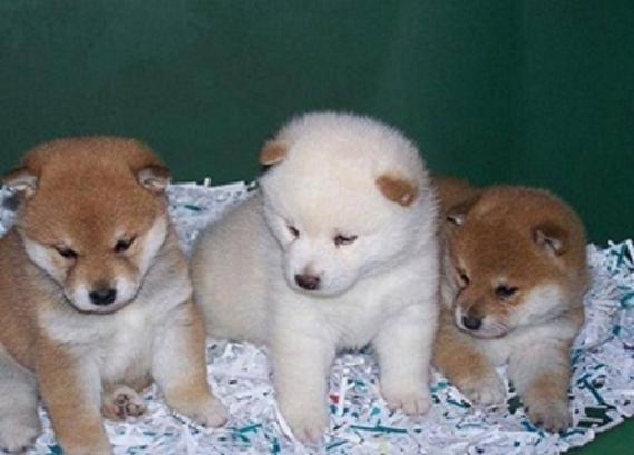 Maxcotea | Foto de Shiba inu preciosa camada  - Perro, Raza: Shiba | Maxcotea, Adopción de mascotas. Adopción de perros. Adopción de gatos.