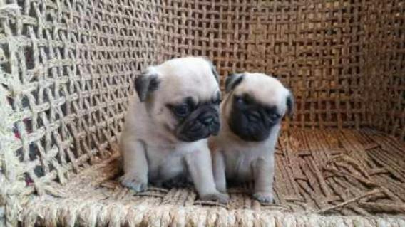 Maxcotea | Foto de  cachorros pug/carlino - Perro, Raza: Carlino | Maxcotea, Adopción de mascotas. Adopción de perros. Adopción de gatos.