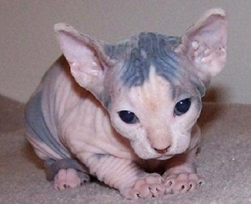 Maxcotea | Foto de macho y hembra sphynx gatito  - Gato, Raza: Abisinio | Maxcotea, Adopción de mascotas. Adopción de perros. Adopción de gatos.