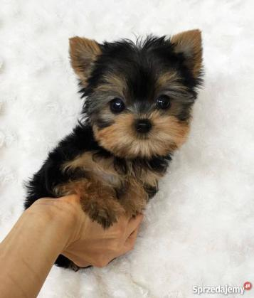 Maxcotea | Foto de yorkie - Perro, Raza: Yorkshire terrier | Maxcotea, Adopción de mascotas. Adopción de perros. Adopción de gatos.