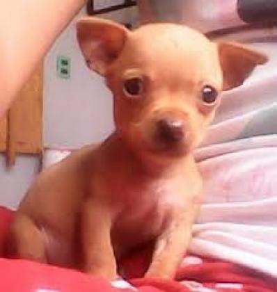 Maxcotea | Foto de yolanda - Perro, Raza: Chihuahua | Maxcotea, Adopción de mascotas. Adopción de perros. Adopción de gatos.